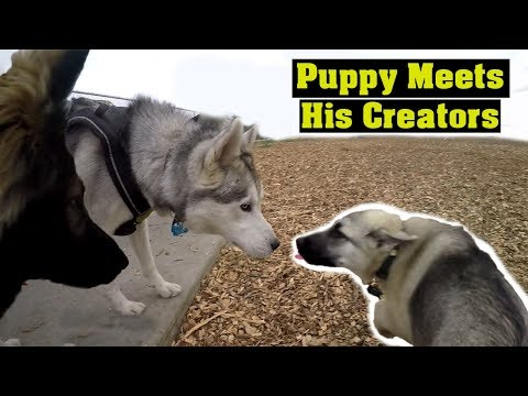 THIS IS WHAT YOU GET WHEN YOU BREED A GERMAN SHEPHERD WITH HUSKY