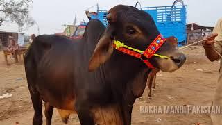 HEAVY SAHIWAL BULL SOLD IN LAHORE COW MANDI PAKISTAN - BAKRA
