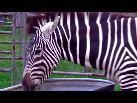 ANIMAL SOUNDS SONG Part 2 (26 Real Animals) BABIES, TODDLERS, PRESCHOOL, K-3