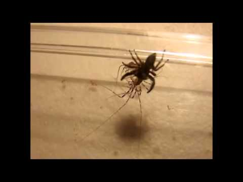 House Centipede vs. Spider!