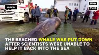 NowThis - Dead Whale Found With Stomach Full Of Plastic Waste