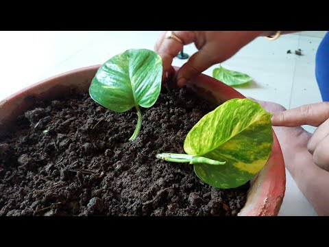 How to Grow Money Plant in Soil || How to get more plants from one cutting ||19 July, 2017