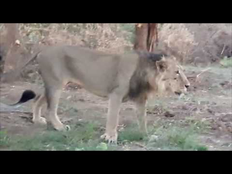 Sasan Gir Lion Private Safari Gujarat