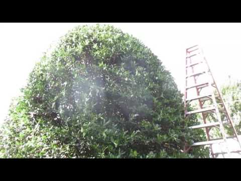 Holly Shrub Trim Pruning Care Service Hagerstown MD Washington County MD