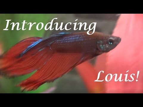 Introducing Louis! | My New Veiltail Male Betta