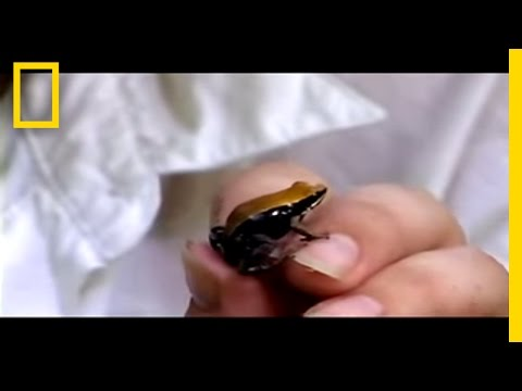 Meet the Frog Licker | National Geographic