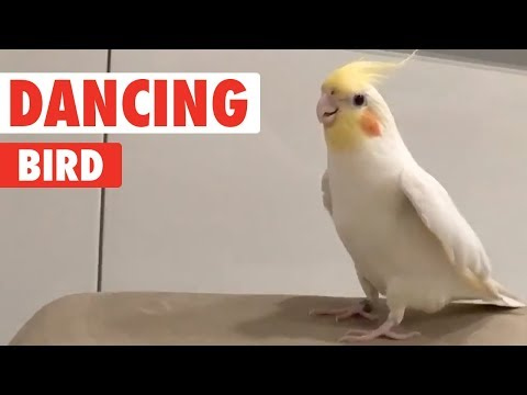 Bird Tap Dances On Everything | Dancing Queen