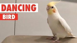 Bird Tap Dances On Everything   Dancing Queen