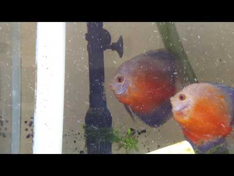 Pair Aquarium Fish Laying Egg on Filter.