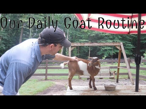 RAISING NIGERIAN DWARF GOATS - Our Daily Goat Routine - Collaboration