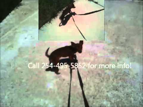 Lost Puppy, FOUND!... Killeen, Texas, USA! Brown Chihuahua...