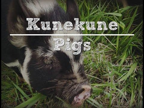 Kunekune Pigs with the Traditional Catholic Homestead