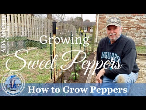 HD How To Grow Sweet Peppers Using Starter Plants