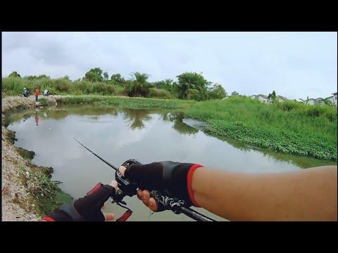 Kena BULI dengan Ikan Haruan!