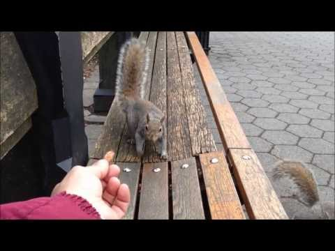 FEEDING SQUIRRELS AT THE BAND SHELL IN CENTRAL PARK ON THE UPPER WEST SIDE OF MANHATTAN IN NYC.