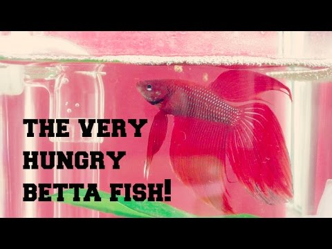 The Very Hungry Betta Fish!