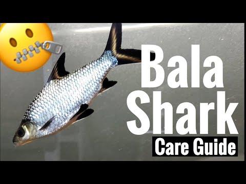 Bala Shark Care - Tank Mates, Feeding, Full Grown?