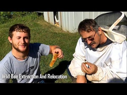 Wild Honey Bee Extraction And Relocation