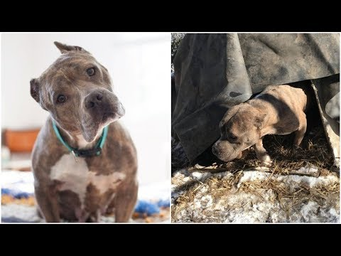 Pitbull lived a lifetime of suffering but she was still so gentle