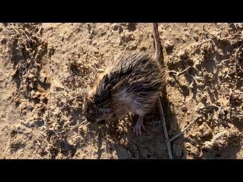 Redescubren rata canguro que se creía extinta