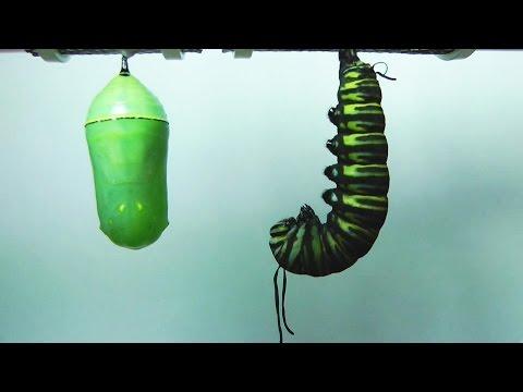 Monarch Butterfly Metamorphosis time-lapse FYV 1080 HD
