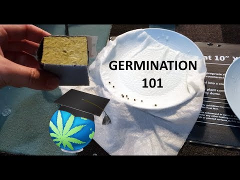 How To Germinate Cannabis Seeds - GUIDE