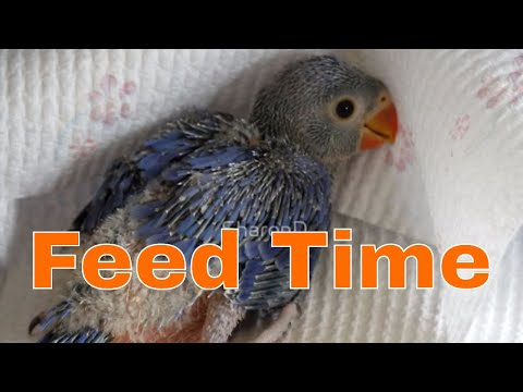How Many Times a Day You Should Feed a Baby Parrot?