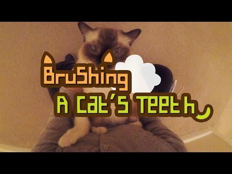 Brushing A Cat's Teeth