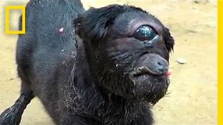 """Cyclops"" Goat Born in India 