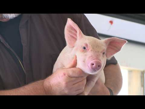 Animal Care--Taking the Mystery Out of Pork Production at Smithfield Foods