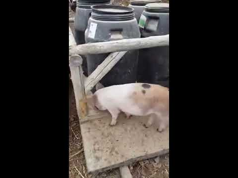 Homemade Automatic Pig Feeder to Grain Bin Thoughts
