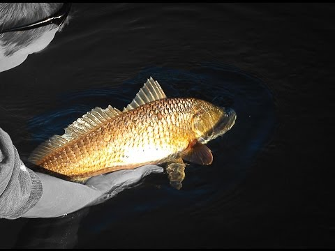 Cold Water Redfish & Snook