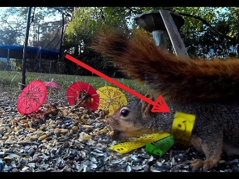 Squirrel Steps on a Snapping Wrist Band