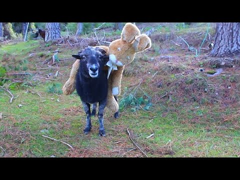 Easter special - Angry Ram smashes a magic mushroom then attacks the Easter Bunny