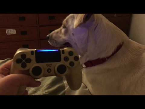 Dog Reacts To PS4 Controller Vibration