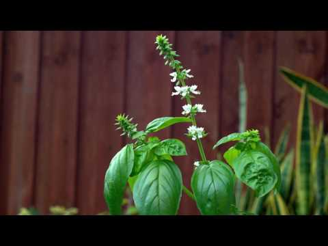 Quick Tip 1 How to Pick Basil