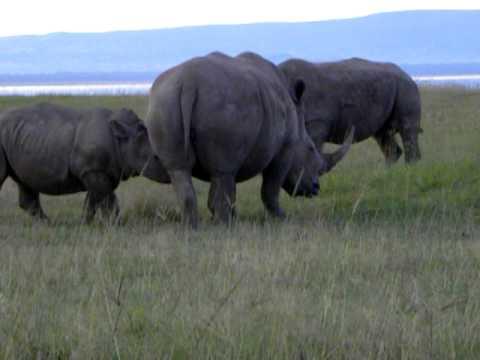 Rhino Milking