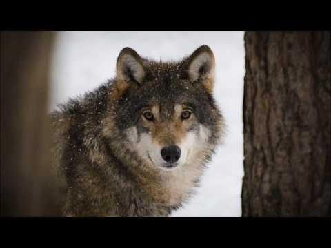 Wolf Shapeshifter (Subliminal)