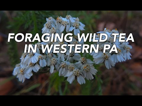 Foraging Wild Tea In Western Pennsylvania with Adam Haritan