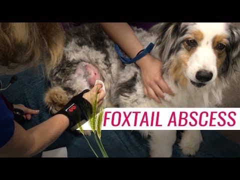 Hidden Foxtail in Abscess on Thigh