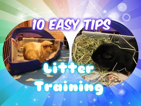 10 Easy Tips to Litter Train Your Guinea Pig