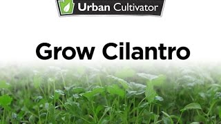 How To Grow Cilantro Indoors Urban Cultivator