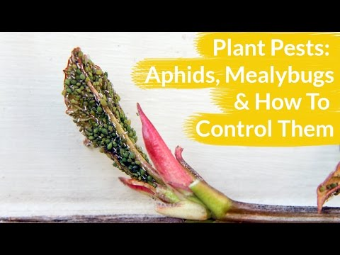 Plant Pests: Aphids & Mealy Bugs & How To Control Them / Joy Us Garden
