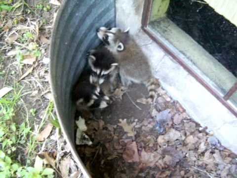 Adorable Baby Raccoons they make the cutest sounds!!!