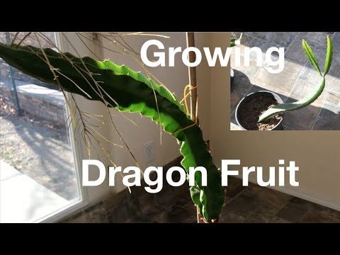 Dragon Fruit Plant Grown from Seed & Cutting