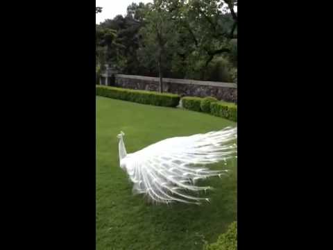 Amazing white peacock spreading it's wings.