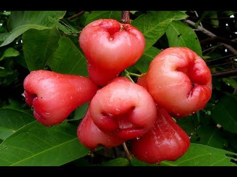 God's Fruit, Rose Apple Juice Detoxifies The Liver, Cure Diabetes, Prevents Breast Cancer!