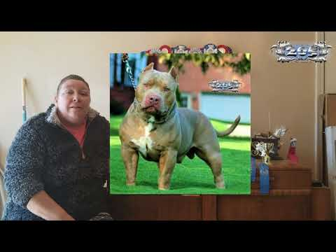 How To Find An Honest American Bully Breeder 2018 - Show Breeder Tips