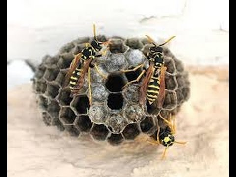 How to get rid of wasp / bees nest from close distance | TigerFamilyLife~