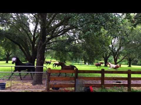 Horses running in the rain